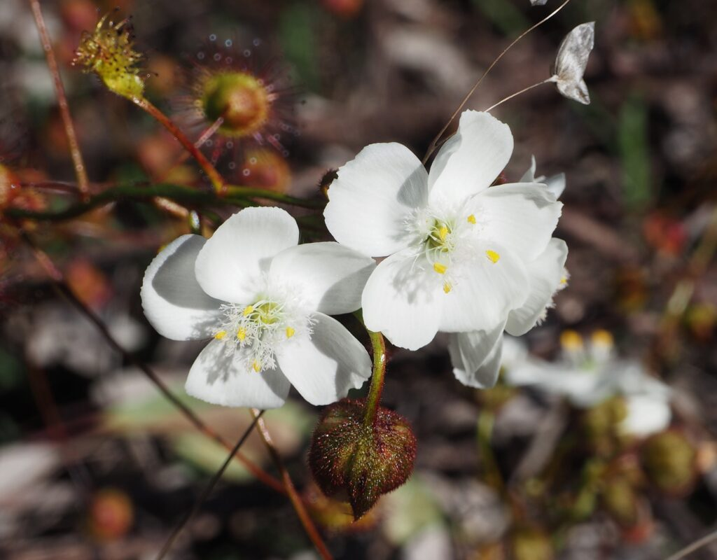 Climbing Sundew (Drosera macrantha)