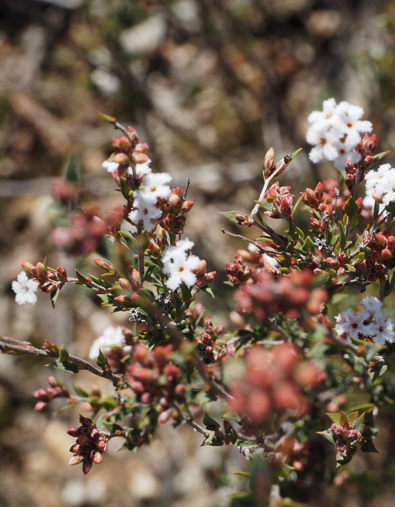 Common Beard Heath (Leucopogan virgatus)